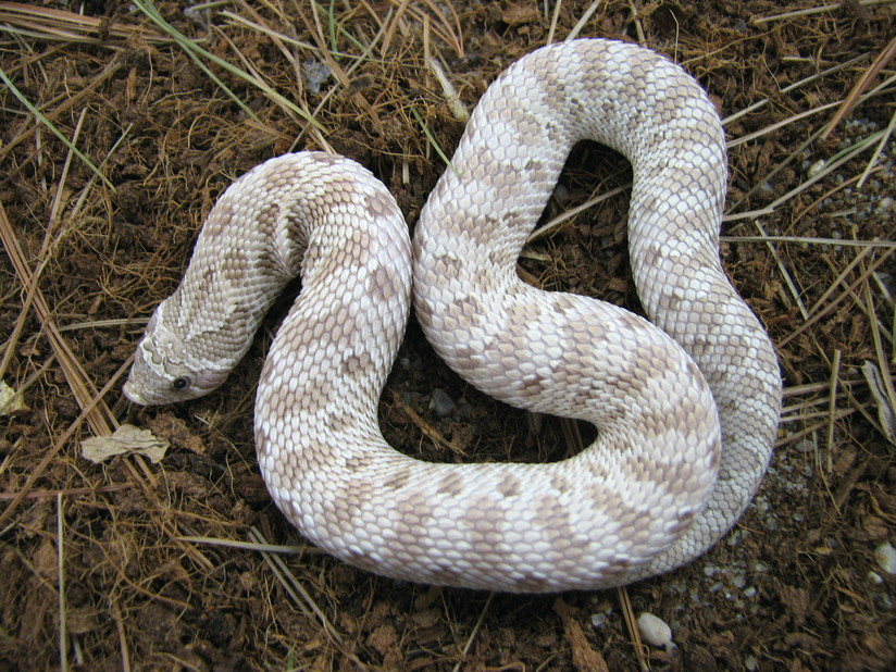 Locality & Color Morph Boa constrictors & selectively Bred Ball